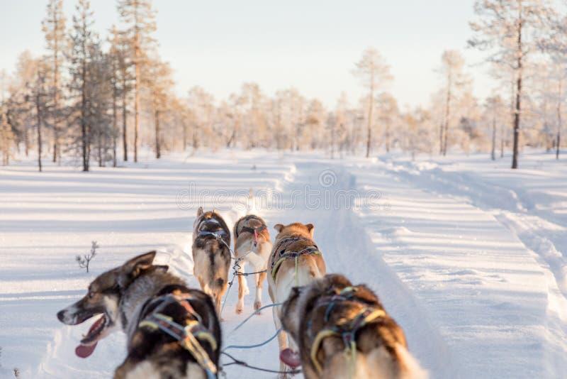 Chien sledding en Laponie images stock