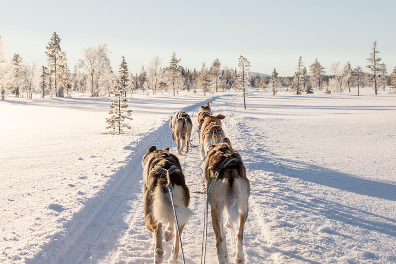 Chien sledding en Laponie photographie stock libre de droits