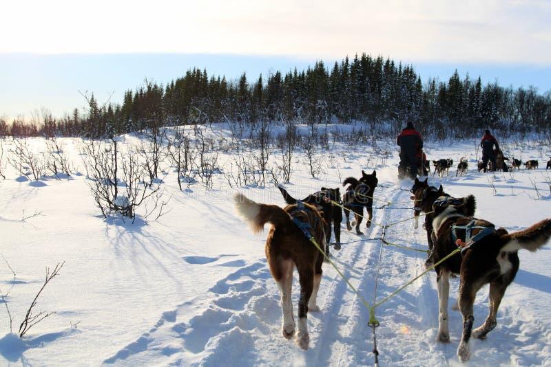 Chien Sledding sur la neige image libre de droits