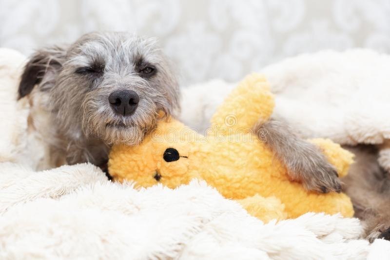 Chien somnolent avec l'ours bourré image libre de droits