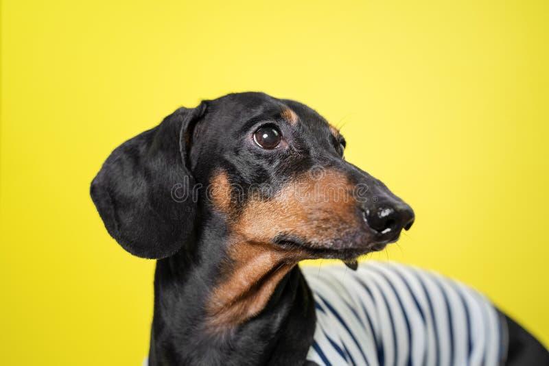 Chien stupéfiant de teckel de portrait, noir et bronzage, sur le fond jaune Visage mignon d'animal familier images stock