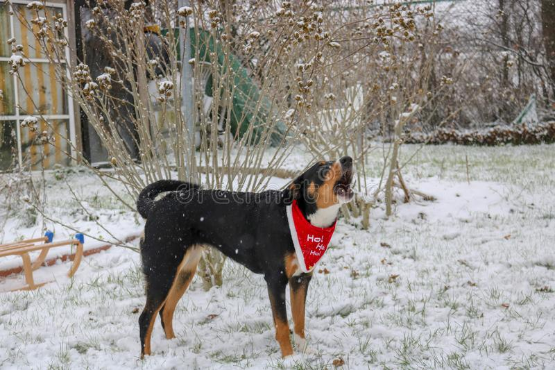 Chien suisse d'Appenzeller sur la neige image stock