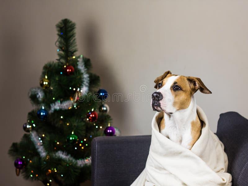 Chien sur l'arbre de fourrure de sofa et de Noël images stock