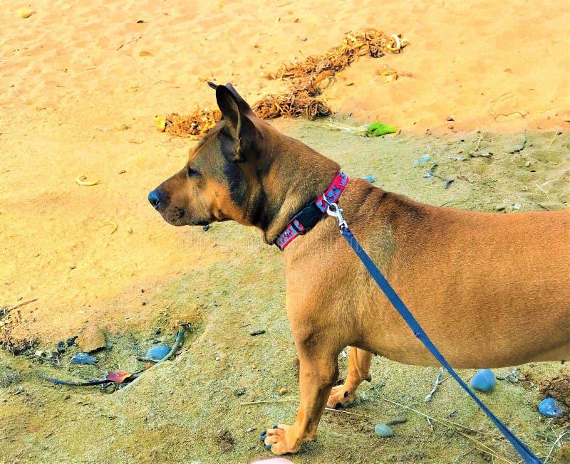 Chien sur la laisse à la plage photographie stock