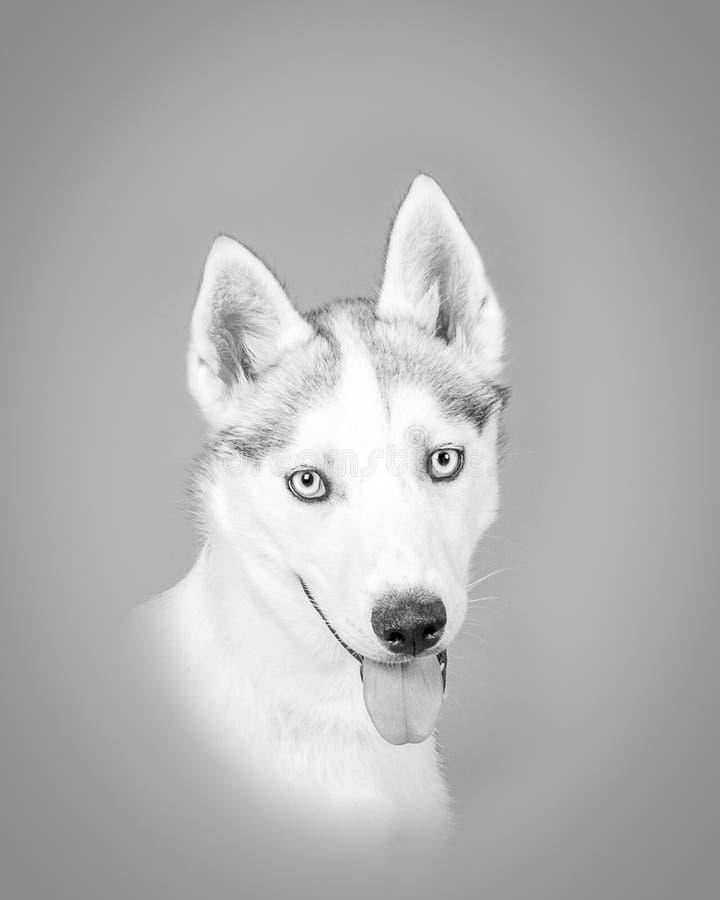 Download Chien Sur Le Fond Rentré Un Studio Photo stock - Image du butoir, animal: 77154300