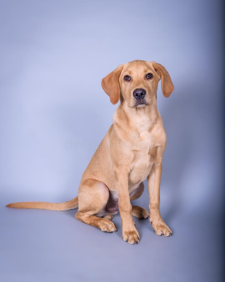 Download Chien Sur Le Fond Rentré Un Studio Photo stock - Image du domestique, expression: 77160494