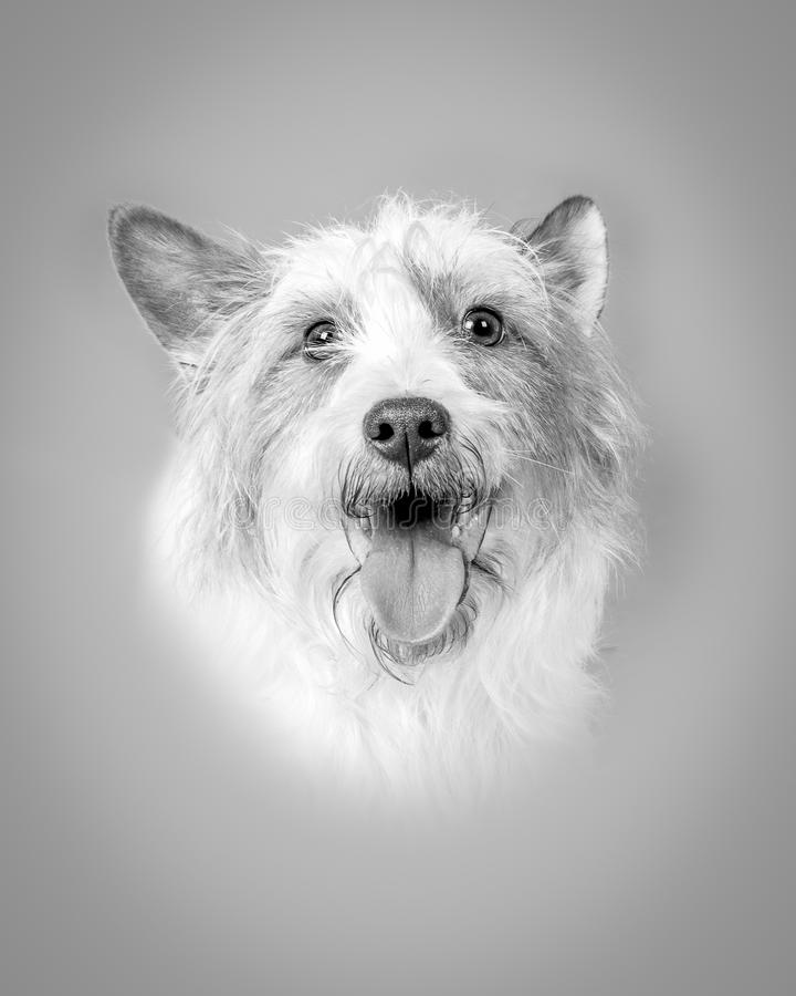 Download Chien Sur Le Fond Rentré Un Studio Photo stock - Image du doggy, fidèle: 77162200