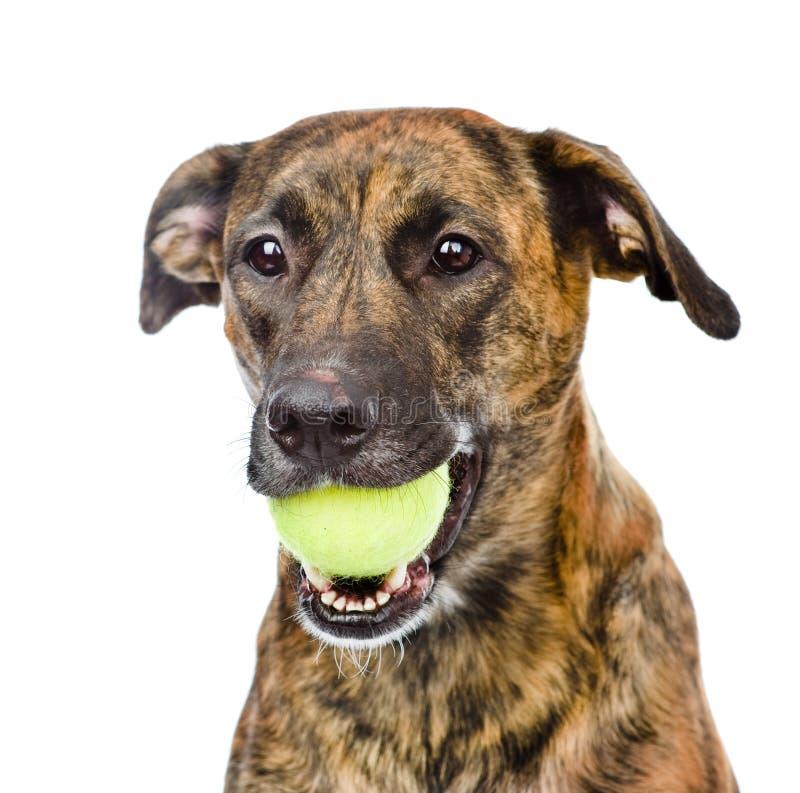 Chien tenant la balle de tennis D'isolement sur le fond blanc photographie stock libre de droits
