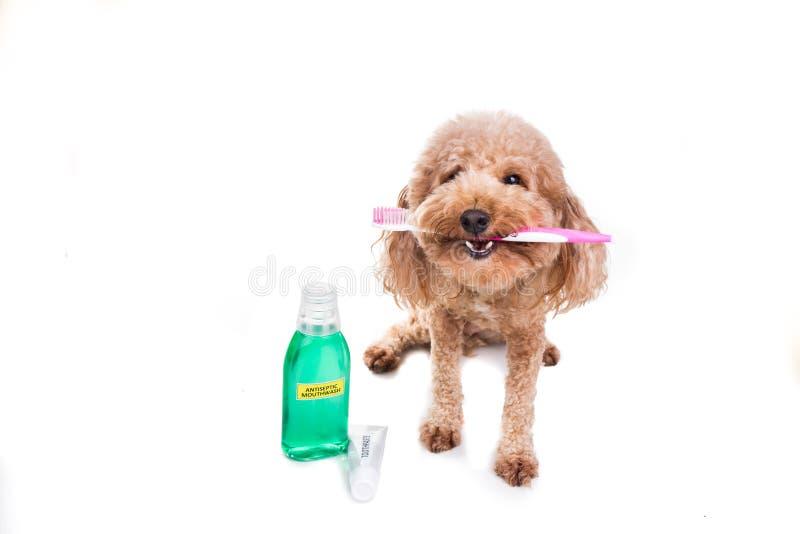 Chien tenant la brosse à dents avec la pâte dentifrice et le collutoire Ca oral images stock