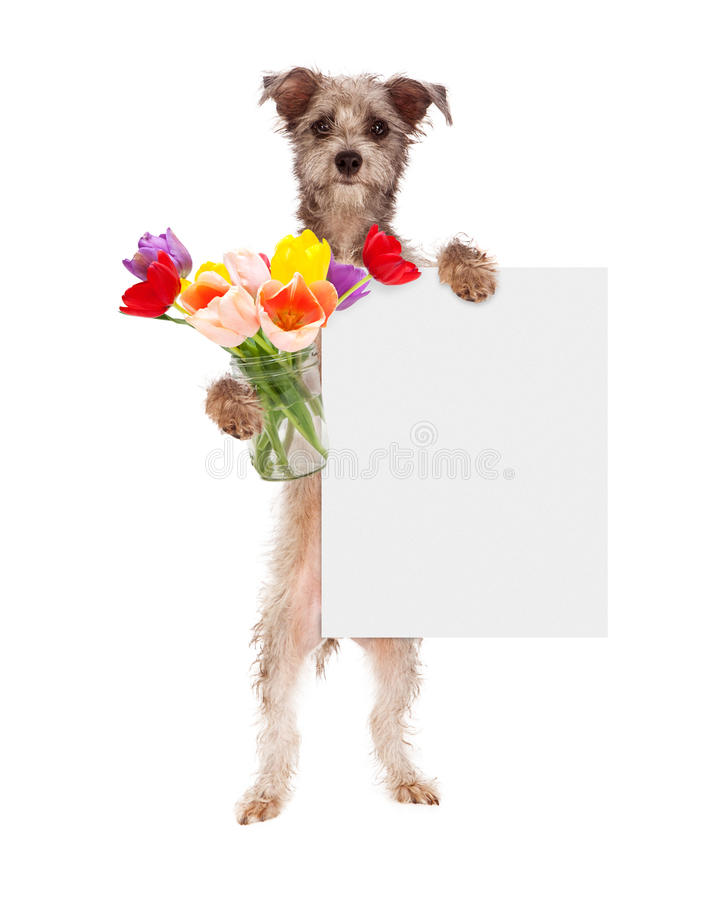 Chien tenant les tulipes et le signe vide photos libres de droits