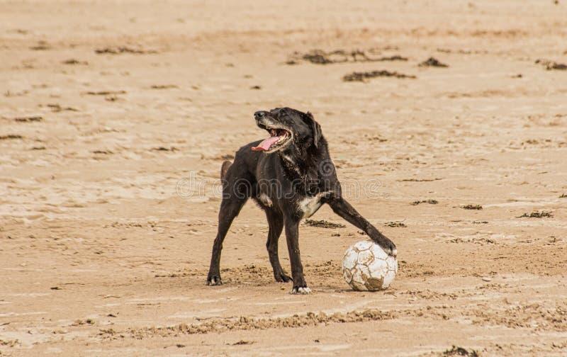 Chien tenant un ballon de football sur le c?t? de plage photos libres de droits