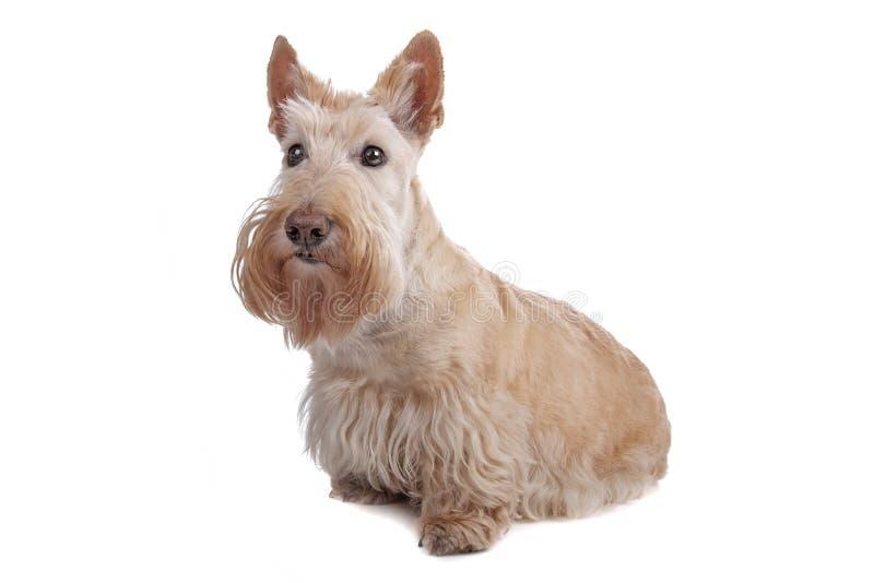 Chien terrier écossais image libre de droits