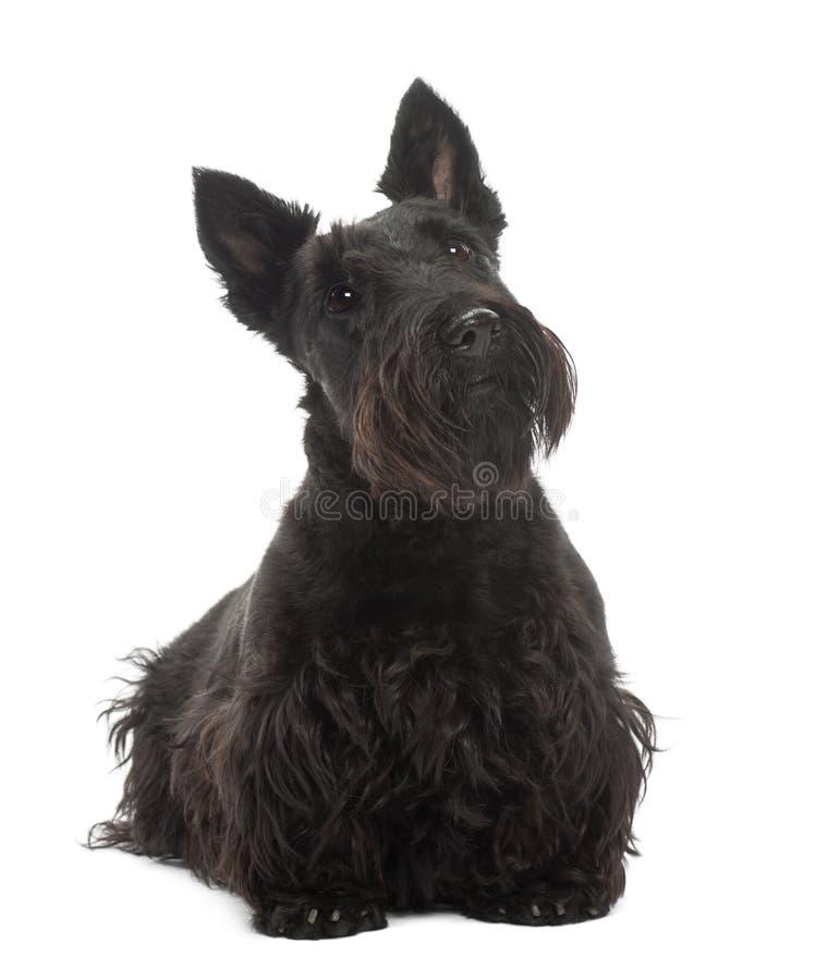 Chien terrier écossais, 20 mois, restant image libre de droits