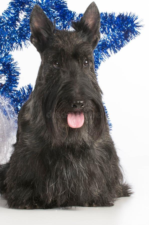Chien terrier écossais images stock