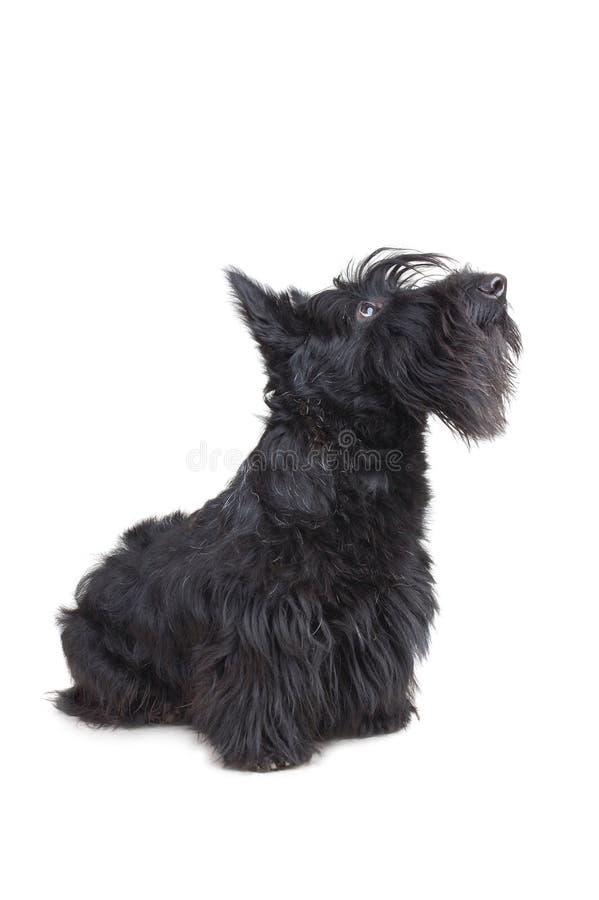 chien terrier écossais photo stock