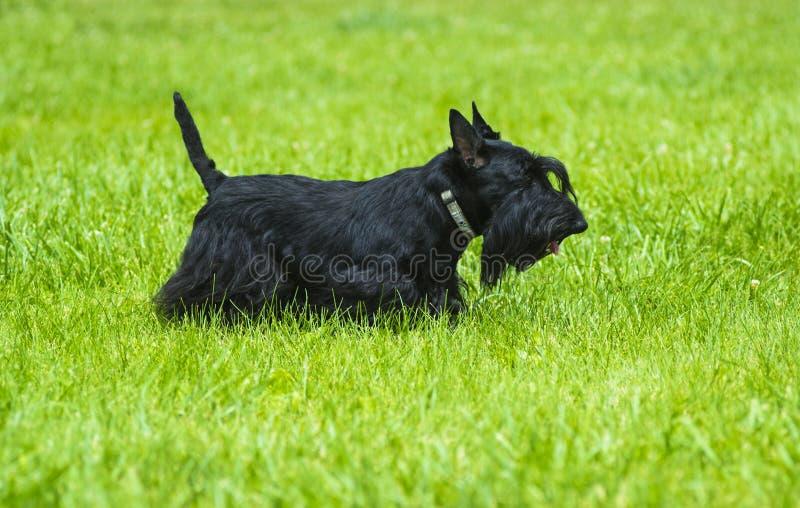 Chien terrier écossais Terrier écossais posant sur l'herbe verte dans images libres de droits