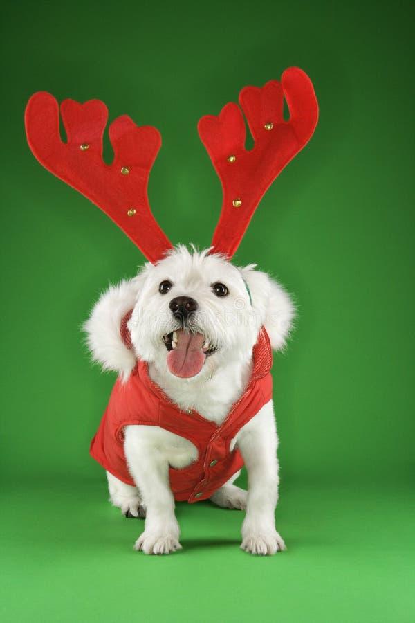 Chien terrier blanc comme renne. photos stock
