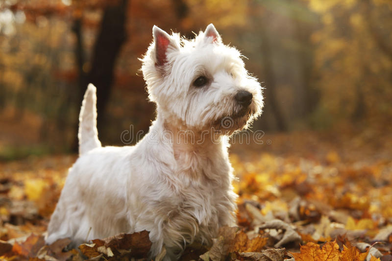 Chien terrier blanc de montagne occidentale photographie stock