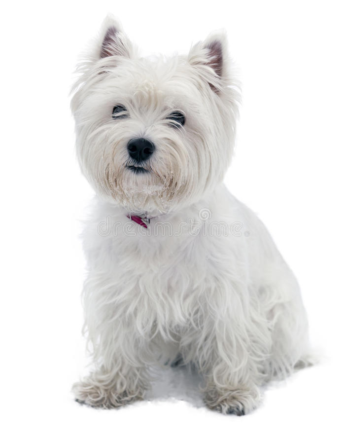 Chien terrier blanc de montagne occidentale images stock
