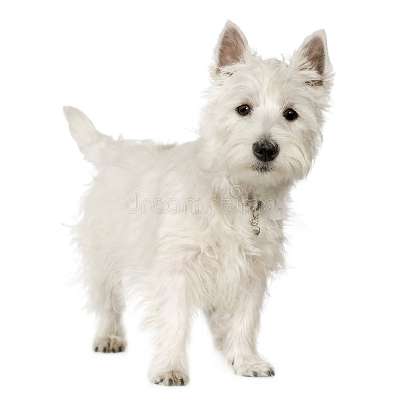 Chien terrier blanc de montagne occidentale (5 mois) image stock