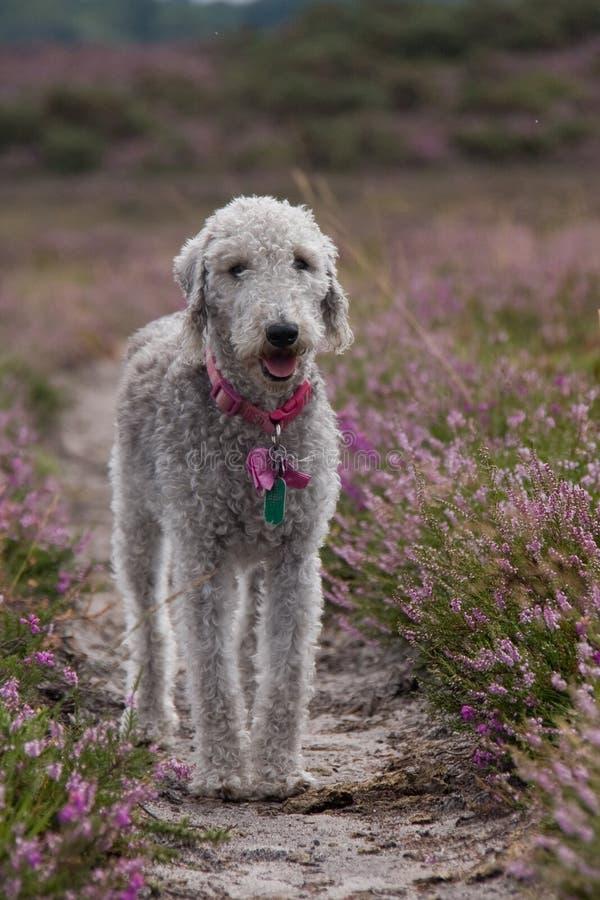 Chien terrier de Bedlington photos libres de droits