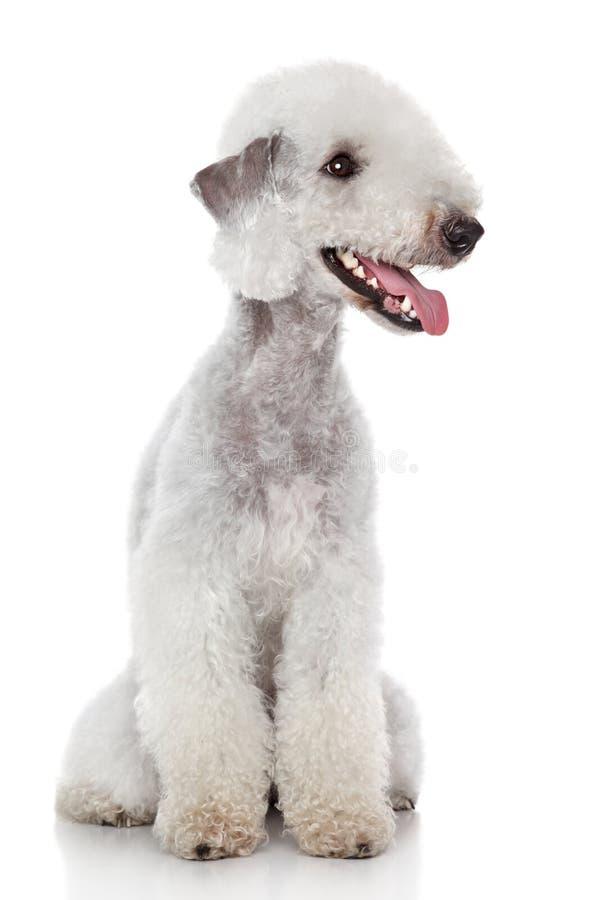 Chien terrier de Bedlington sur le fond blanc photos stock