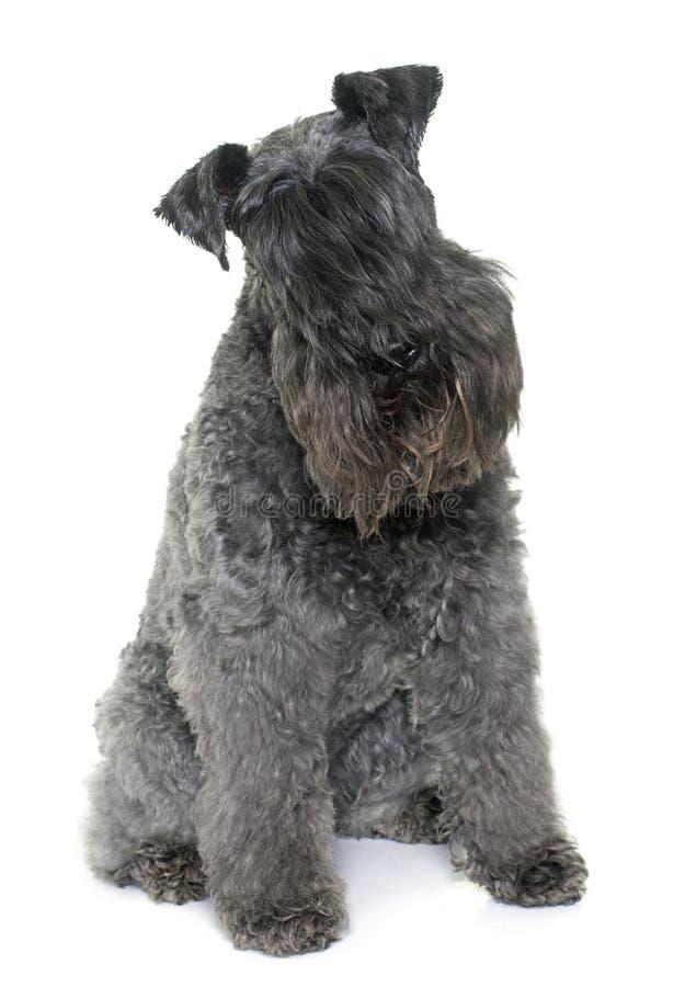 Chien terrier de bleu de Kerry photographie stock libre de droits