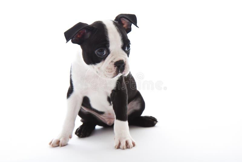 Chien terrier de Boston image stock