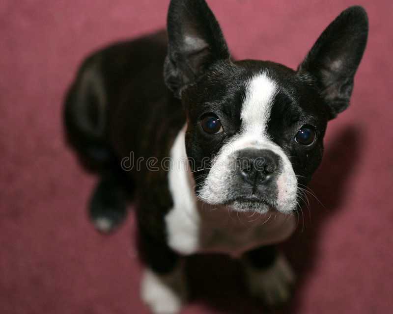 Chien terrier de Boston images stock