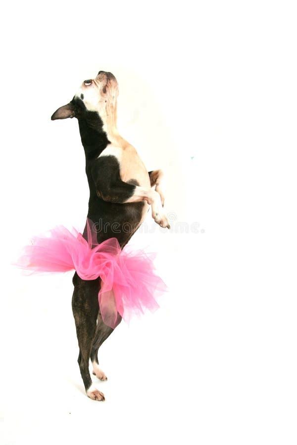Chien terrier de Boston avec le tutu rose photo stock