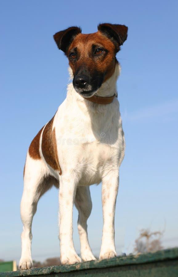 Chien terrier de Fox droit photo libre de droits