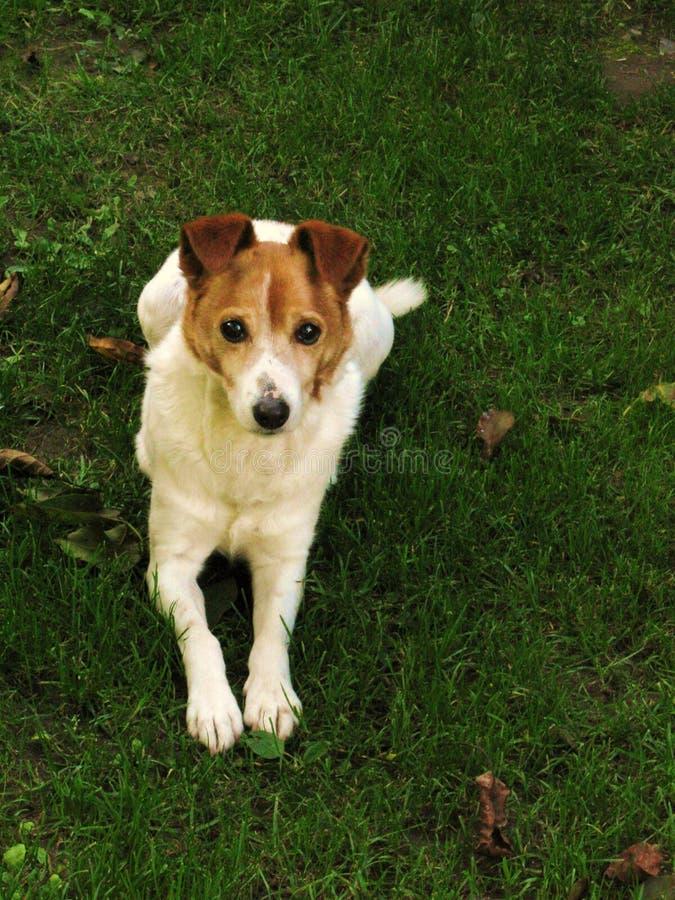 Chien terrier de Jack Russel photo stock
