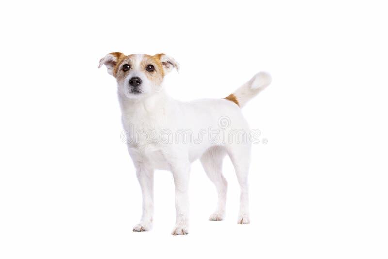 Chien terrier de Jack Russel photographie stock libre de droits