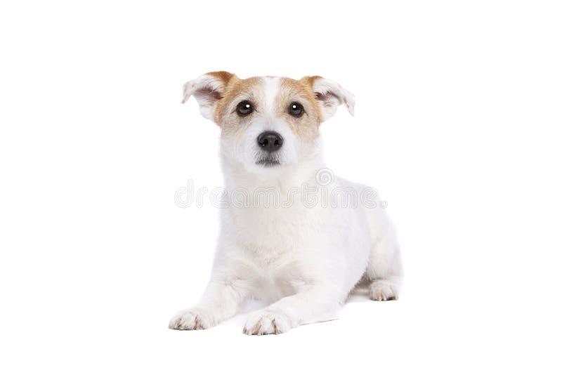 Chien terrier de Jack Russel image libre de droits