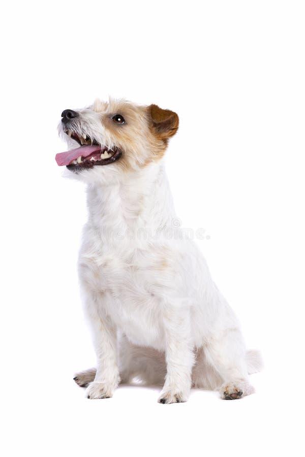 Chien terrier de Jack Russel photos stock