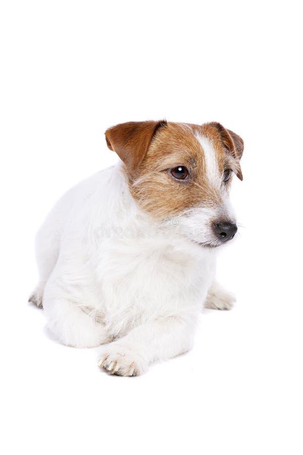 Chien terrier de Jack Russel images libres de droits