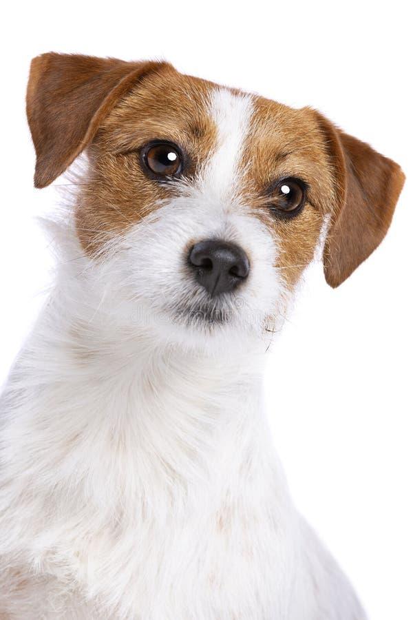 Chien terrier de Jack Russel image stock