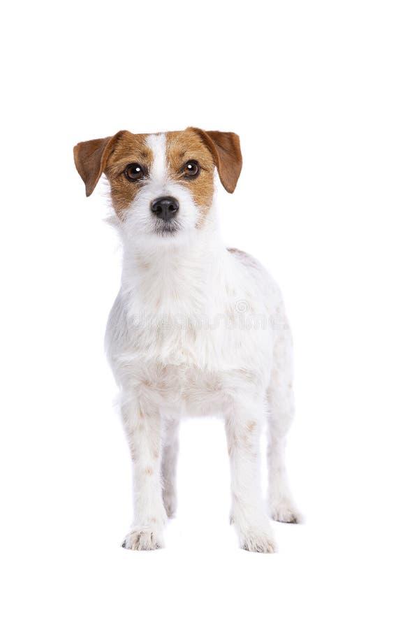 Chien terrier de Jack Russel photo libre de droits