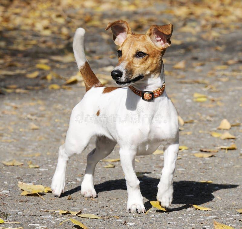Chien terrier de Jack Russell images libres de droits