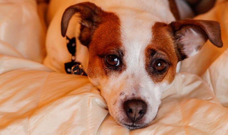 Chien terrier de Jack Russell photographie stock libre de droits