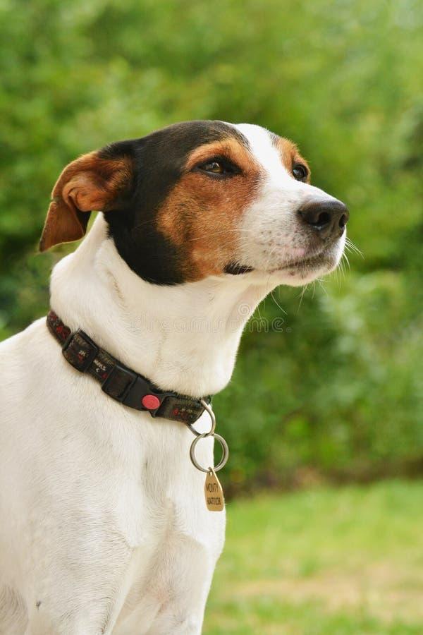 Chien terrier de Jack Russell photos stock