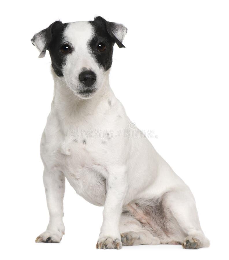 Chien terrier de Jack Russell, 7 années, se reposant image stock
