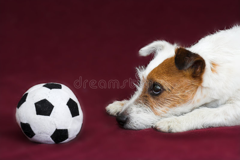 Chien terrier de Jack russell photo libre de droits