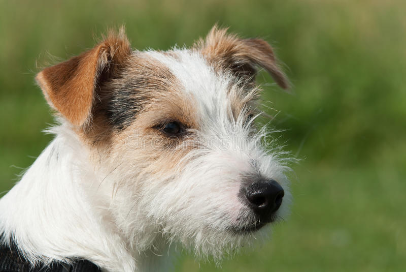 Chien terrier de Jack Russell de pasteur photo stock