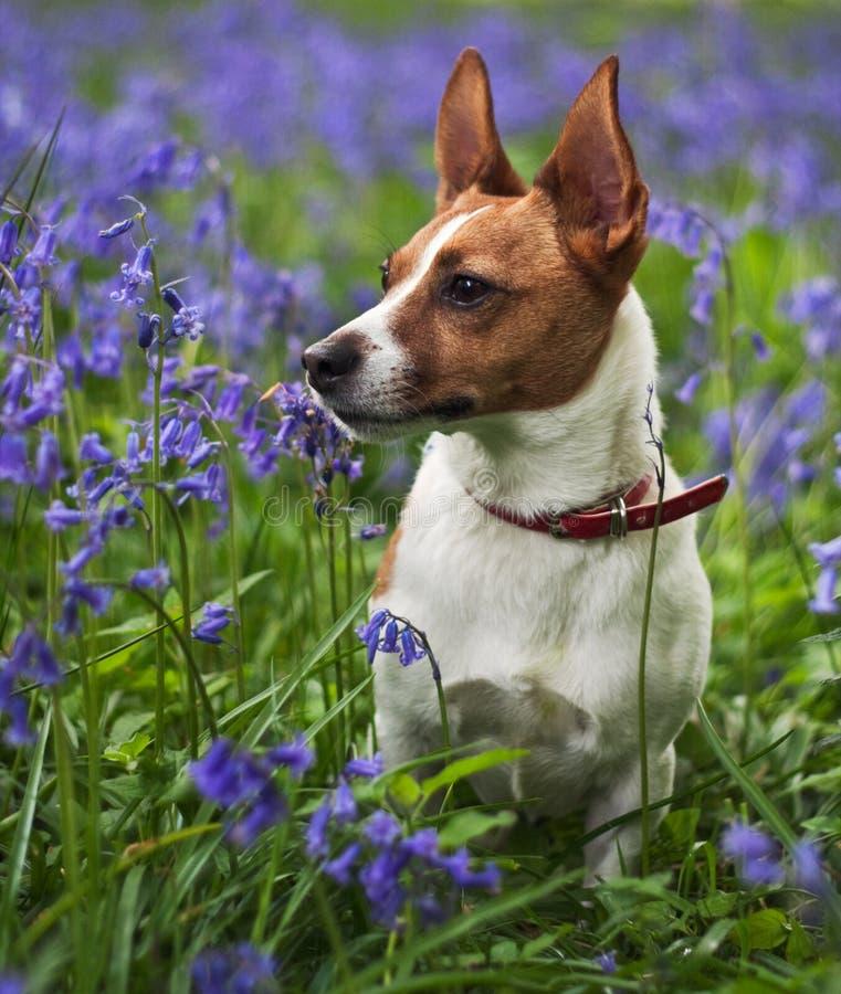 Chien terrier de Jack Russell parmi des bluebells photo stock