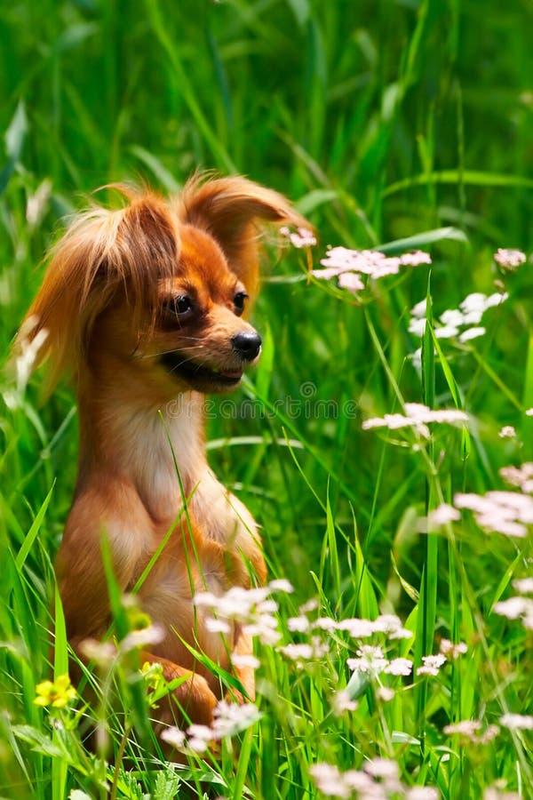Chien terrier de jouet de crabot dans l'herbe photos libres de droits