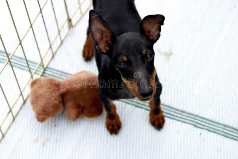 Download Chien Terrier De Manchester De Jouet Image stock - Image du exposition, cage: 65107