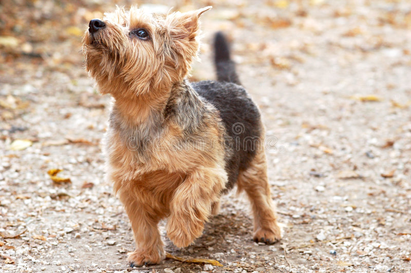 Chien terrier de Norfolk images stock