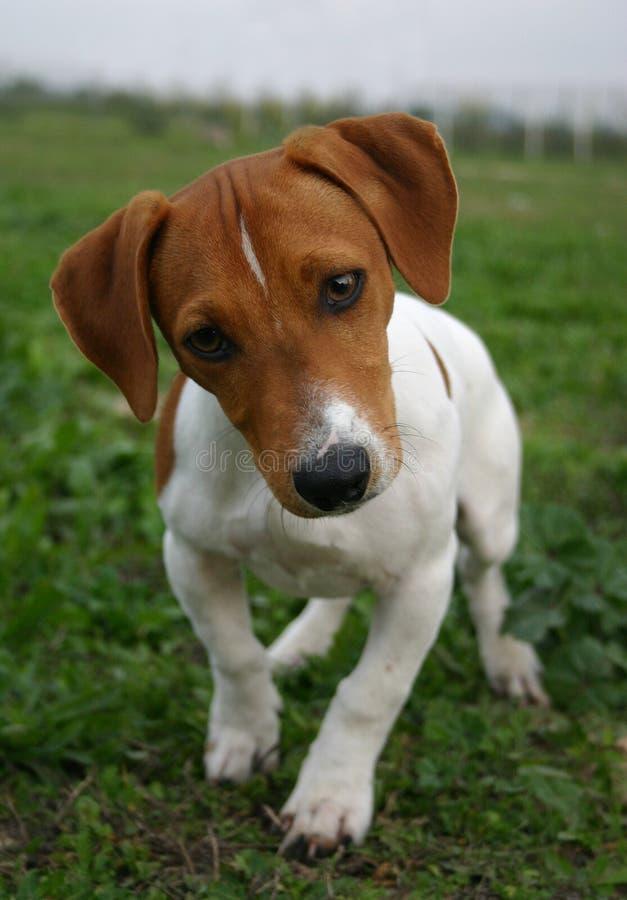 Chien terrier de Russel de plot de chiot photo stock