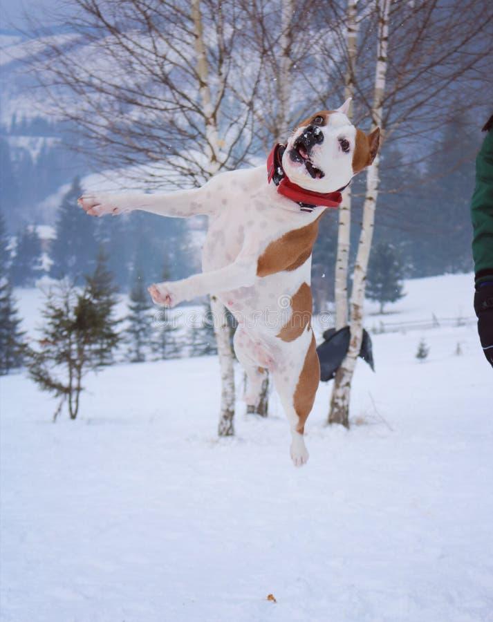 Chien terrier de Staffordshire américain images stock